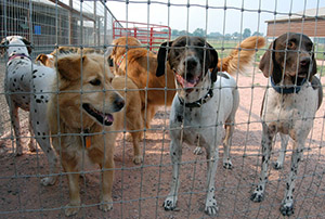 Dogs in fenced play area - Rocky Mountain Kennels in Longmont, Colorado