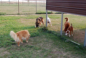 Dogs playing in sheltered play area - Rocky Mountain Kennels in Longmont, Colorado