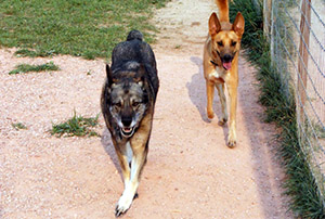 Dogs running - Rocky Mountain Kennels in Longmont, Colorado
