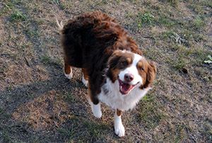 Border Collie smiling - Rocky Mountain Kennels in Longmont, Colorado