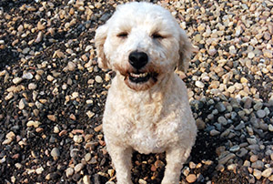Poodle smiling - Rocky Mountain Kennels in Longmont, Colorado