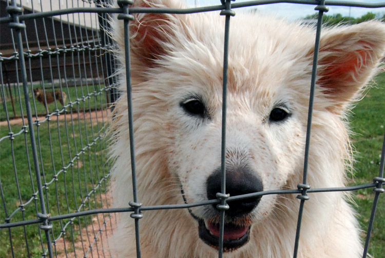 White dog in play area - Rocky Mountain Kennels in Longmont, Colorado
